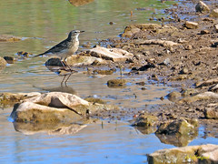 Bisbita alpino (Anthus spinoletta) (1) (eb3alfmiguel) Tags: aves pajáros insectívoros passeriformes motacillidae bisbita alpino