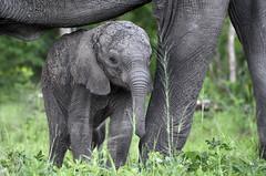 Another from the archives...  Another baby elephant (lyn.f) Tags: loxodontaafricana elephant baby chobenationalpark botswana