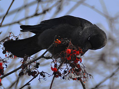 Jackdaw on the rowan (МирославСтаменов) Tags: russia moscowregion pushchino jackdaw bird rowan fruit tree winter