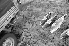Fish in carpark (Mark Tindale) Tags: fishingport fishing taiwan taiwanese eastcoast national scenic fish sustainability overfishing seafood port chenggong market auction chinese carpark shark population pacific ocean sea boat 成功鎮 成功 taitung surreal sad bw pickup 4wd wheel strange unusual