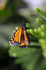 Papillons en Liberté 2017 - Photo 29 (Le Chibouki frustré) Tags: nikon nikond700 d700 700 fx fullframe montréal montreal homa hochelagamaisonneuve macro macrophotographie botanicalgarden jardinbotanique jardinbotaniquedemontréal montrealbotanicalgarden butterfly insect insects bokeh dof pdc papillonsenliberté2017 butterfliesgofree2017