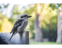 Waiting (red stilletto) Tags: kookaburra australianbird thepiggerycafe sassafras thedandenongs macro