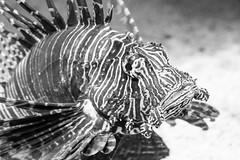 Lionfish (shannon_blueswf) Tags: lionfish aquarium blackandwhite blackwhite fish saltwater dangerous venom stripes gatlinburg