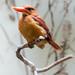 Ruddy Kingfisher  Eisvogel Feuerliest