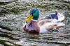 Mallard-0005-Edit.jpg (vorneo) Tags: bird mallard familyanatidae duck kingdomanimalia orderanseriformes classaves genusanas wild phylumchordata speciesaplatyrhynchos wildbird binomialnameanasplatyrhynchos