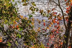 _D4D8123 (gianmaria.colognese) Tags: foglie fiume acqua rami cespuglio inverno