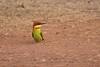 Abejaruco Cabecirrufo (ik_kil) Tags: abejaruco beeeater abejarucocabecirrufo chestnutheadedbeeeater meropsleschenaulti tamdisurla birdsofindia birds merops goa india