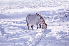 One Horse stay in the snowy woods in winter (♥Oxygen♥) Tags: winter snow horse white animal field active outside freedom beautiful nature outdoor forest mist meadow mammal wood croup standing pasture color cold farm ranch frost trees hills pride ice countryside rural glazed proud altay fog relax village altai russia snowy frozen landscape calm wild travel freeze season environment fairytale lonely