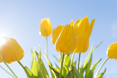 Tulips in Holland (Jeffrey Camphens) Tags: tulip dutch holland flower flowers green sun sunshine bright day blue yellow happy wwwfacebookcom 2017 jeffrey camphens nikon d3300 35mm spring