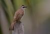 Yellow-vented Bulbul | Pycnonotus goiavier personatus | Burung Merbah Kapur