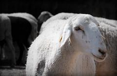 VILLAREJO-3 (ROGE gonzalez ALIAGA) Tags: rebaño oveja animales ganado