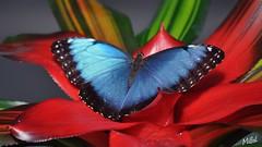 Blue Morphos Peleides (Tanja-Milfoil) Tags: bedrohteart schutzbedürftig schützen himmelsfalter picture foto luisenpark tanja milfoil mannheim schmetterling südamerika indien blaueredelfalter blue butterfly bluemorphopeleides