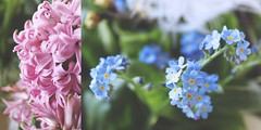 100/365 it's all about flowers (SarahLaBu) Tags: diptych diptychon 365the2017edition 3652017 10apr17 day100365 flowers blumen blue blau pink hyazinthe hyazinth