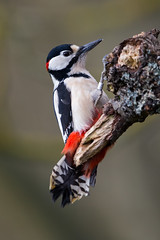 Great Spotted Woodpecker (Simon Stobart) Tags: great spotted woodpecker dendrocopos major male northeastengland perched hanging branch wood ngc npc
