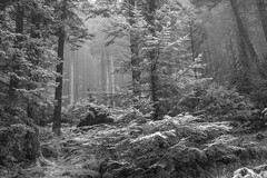In the Mono Woods - Loch Eck March 2017 (GOR44Photographic@Gmail.com) Tags: monoscotland mono bw trees woods loch eck loop rain fujifilm gor44 scotland argyll cowal xpro1 xf35mmf14 mist