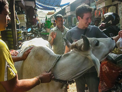 _IMG_10117 (Manveer Jarosz) Tags: bharat canadian hindustan incredibleindia india nathdwara rajasthan bag bull cow holy hungry market mithai outdoors people photographer pilgrimage prasad street