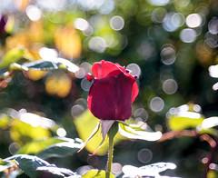 ILCE-6000-07165-20170418-1604-Pano // Carl Zeiss Jena Tessar 50mm 1:2.8 (Otattemita) Tags: 50mmf28 carlzeissjena carlzeissjenatessar50mmf28 florafauna fauna flora flower nature plant wildlife carlzeissjenatessar50mm128 sony sonyilce6000 ilce6000 50mm cnaturalbnatural ota