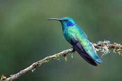 Green Violetear (Melis J) Tags: bird costarica greenvioletear hummingbirds
