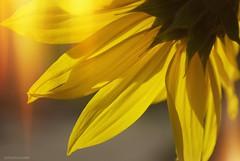 Exposed.... (Joe Hengel) Tags: exposed 7dwf flower sunflower petals socal southerncalifornia sanjuancapistrano theoc goldenstate california ca orangecounty outdoor plant yellow golden light