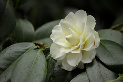 Fading camellia (Laurie4593) Tags: flower floweringshrub camellia white bloom springblooming spring day soft elegant fading canonrebelt3i park seattle washington beautiful late leaves floral