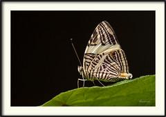 Colobura dirce -  Dirce beauty (J. Amorin) Tags: coloburadirce dircebeauty macro amorin mariposasdemexico mariposasdetabasco mariposa butterfly canon10028macro canon7d macuspana