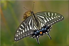 Chinese yellow swallowtail (Papilio xuthus) (Foto Martien) Tags: chineseyellowswallowtail japaneseswallowtail asianswallowtail xunthusswallowtail chinesegelepage japansepage aziatischepage japanischerschwalbenschwanz ナミアゲハ 호랑나비 парусникксут 柑橘鳳蝶 papilioxuthus japan koreanpeninsula korea easternandsouthernchina taiwan philippines northernmyanmar hawaii swallowtail page butterfly papillon mariposa schmetterling vlinder insect black yellow asia coloured colorfull passiflorahoeve zorgboerderij harskamp butterflygarden butterflyhouse vlindertuin vlinderkas veluwe netherlands nederland holland dutch macro macrophoto macrofoto macroopname minoltamacro100mm28mm geotagging geotaggedwithgps geotag slta77v a77v sonyalpha77 a77 slt martienuiterweerd fotomartien