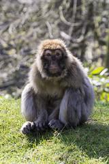 Macaca Sylvanus (Charliebubbles) Tags: mammal barbarymacaque canoneos60d tamron18270mm staffordshire trentham monkeyforest photoshopcc 2017 nature portrait wildlife