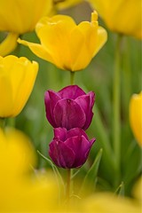 Two of a Kind (brev99) Tags: tulips woodwardpark d610 nikviveza purpletulips bokeh blur tamronlens tamron180f35 springblossoms vivid perfecteffects17 ononesoftware