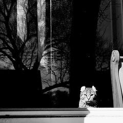 Prendre le soleil à la fenêtre... (woltarise) Tags: montréal americancurl race chat reflets contraste soleil littledoglaughednoiret