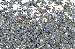 Canadian Snowgeese26 (tw206981) Tags: snowgeese skagitvalley birds wings