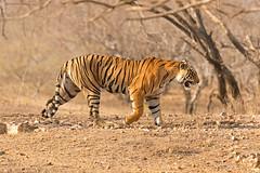 1534 Day 8 Tigers (brads-photography) Tags: india male nationalpark pantheratigristigris rajasthan ranthambore royalbengaltiger sawaimadhopur starmale t28 tiger tigerreserve wildlife