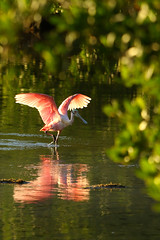 Roseate Spoonbill (moments in nature by Antje Schultner) Tags: roseate spoonbill rosa löffler ibis family florida sanibel island jn ding darling wildlife refuge explored vogel wasser water
