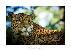 his majesty the jaguar (gillouvannes56) Tags: jaguar animals animaux zoo beauval félin feline canon 7d colors couleurs light lumière france french réserve parc jungle