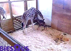 Baby calf is up & standing on wobbly legs. (heights.18145) Tags: aprilthegiraffe veterinarian momtobe ccncby baby calf