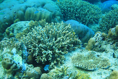 Club Paradise housereef (Landersz) Tags: philippines filippine coron palawan club paradise snorkeling turtle shark clownfish nemo dugong landersz canon 5dmk3 nimar gopro hero5