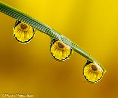 Trio (Pierre.Pomerleau) Tags: trio macro nikon droplets gouttelettes transparent reflection jaune