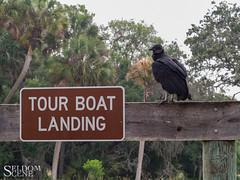 Waiting for breakfast to be delivered (Seldom Scene Photography) Tags: florida myakkariverstatepark travel sarasota unitedstates us vulture wildlife humor