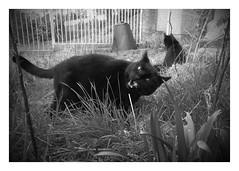 IMG_20170406_194551-EFFECTS.jpg (aderixon) Tags: barney pet cat teeth snarl garden grass