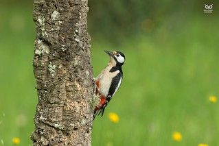 Pica-pau-malhado-grande, The Great Spotted Woodpecker(Dendrocopos major)