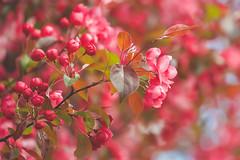 Ornamental Crabapple (paulapics2) Tags: blossom pink flower flora floral blumen bluten fleur spring frühling printemps outdoor nature garden plant tree crabapple ornamentalcrabapple april canoneos5dmarkiii canonef70300mmf456lisusm malus