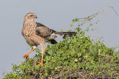 Juv - Pale Chanting Goshawk -Melierax canorus (rosebudl1959) Tags: 2017 botswana centralkalaharigamereserve juvpalechantinggoshawk