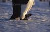 ZOO0455 (Akira Uchiyama) Tags: 動物たちのいろいろ 足 足ペンギンコウテイペンギン 足鳥類
