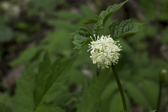 Panax trifolius, Blue Spring Railroad Grade, White County, Tennessee (Chuck Sutherland) Tags: white flower wildflower panaxtrifolius dwarfginseng bluespring railroadgrade whitecounty tennessee tn