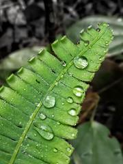 Raindrops on Fern (tomquah) Tags: ferns green naturetrail nature singapore droplets raindrops tomquah huaweimate9 huaweisg closeup macro