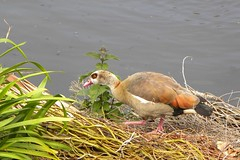 Ouette d'Egypte (Emma2922) Tags: oiseau bird eau lac water nature animal