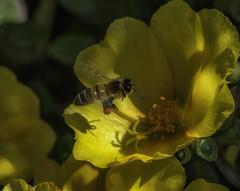 Bee&Flower_SAF4237 (sara97) Tags: bee copyright©2016saraannefinke flower flyinginsect insect missouri nature outdoors photobysaraannefinke pollinator saintlouis towergrovepark urbanpark
