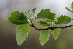 Spring Light (Bloui) Tags: 2016 botanicalgarden eos7d jardinbotanique marrais may spring montréal québec tree branch leaves green light