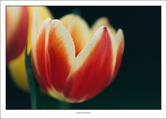 Tulip (G. Postlethwaite esq.) Tags: canon40d dof derby sigma70200f28 beyondbokeh bokeh closeup depthoffield flowers garden petals photoborder selectivefocus tulip bored crapweather