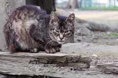Today's Cat@2017-04-17 (masatsu) Tags: cat thebiggestgroupwithonlycats catspotting pentax mx1