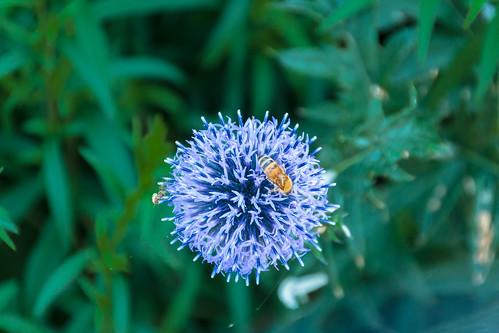 Echinops with Bee; Kugeldistel mit Biene (3:2)